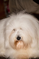 Coton de Tulear on the grooming table at the International Dog Show in Prague May 2014.