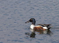 Northern shovelers were a common sight in Idaho.  This is a drake.