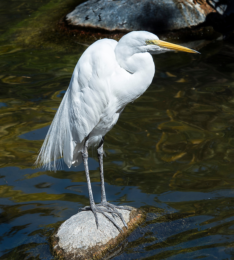 A great egret (Ardea alba), here photographed in the lagoon at the San Diego Safari Park, Escondido, California