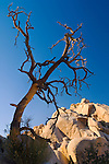 Barren dead tree and rock boulder outcrops at Barker Dam, Joshua Tree National Park, California