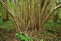 Hazel coppice - Corylus avellana