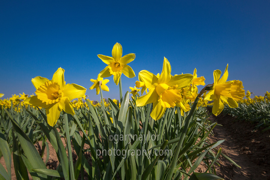 Daffodils in flower - Lincolnshire, March