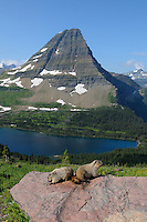 Hoary Marmots (Marmota caligata) on rock overlooking Hidden Lake and Bearhat Mountain, Glacier National Park, Montana.  Summer.