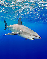 Galapagos shark, Carcharhinus galapagensis, North Shore, Oahu, Hawaii, USA, Pacific Ocean