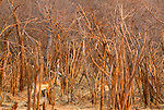 Impala in brush, Zimbabwe
