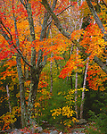 Acadia National Park, ME<br /> Fall colors of sugar maples (Acer saccharum) and yellow birch (Betula alleghaniensis) in mixed hardwood forest
