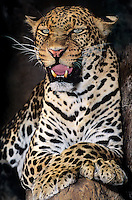 654309085 a snarling adult male african leopard panthera pardus - animal is a wildlife rescue - species is native to sub-saharan africa -sudan
