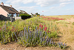 Valerian, Valeriana officinalis, and Viper's bugloss, echium vulgare, flowering at Shingle Street, Hollesley, Suffolk, England, UK