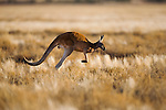 Australia,  NSW, Sturt National Park; red kangaroo male (Macropus rufus) hopping in grassland; the red kangaroo population increased dramatically after the recent rains in the previous 3 years following 8 years of drought