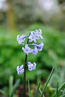 Hyacinth - Check with Olive Mason