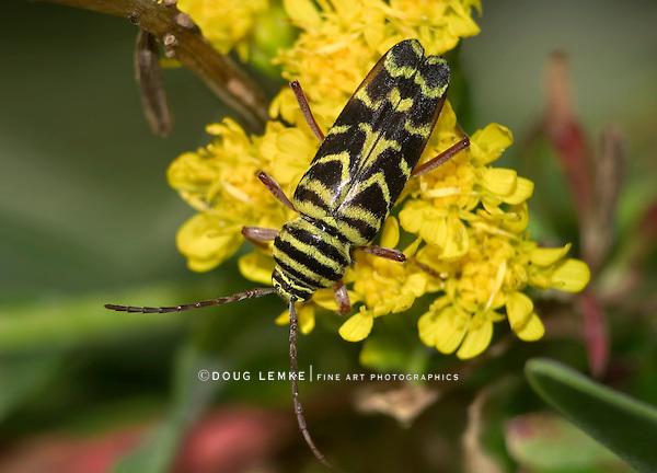 Locust Borer, Megacyllene robiniae, On Goldenrod