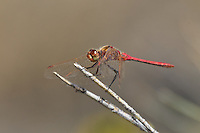 362740008 a  wild male saffron-winged meadowhawks sympetrum costiferum perch on a desert plant near de chambeau ponds mono county california united states