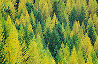 western larch or tamaracks in fall color, NW Montana, USA