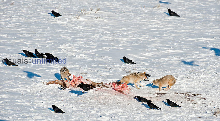 Coyotes (Canis latrans) feeding on kill in snow with scavenging Ravens,  Yellowstone National Park, Wyoming, USA