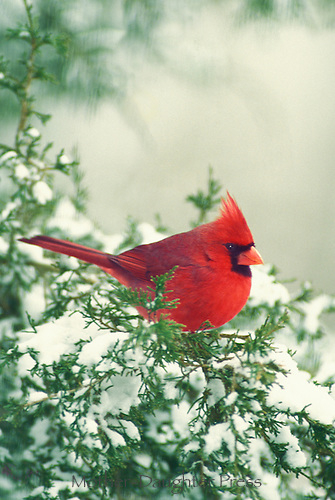 Northern male cardinal on a snowy evergreen branch close up