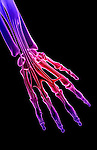 An anterior view of the flexor digitorum profundus and its tendons relative to the skeleton. Royalty Free