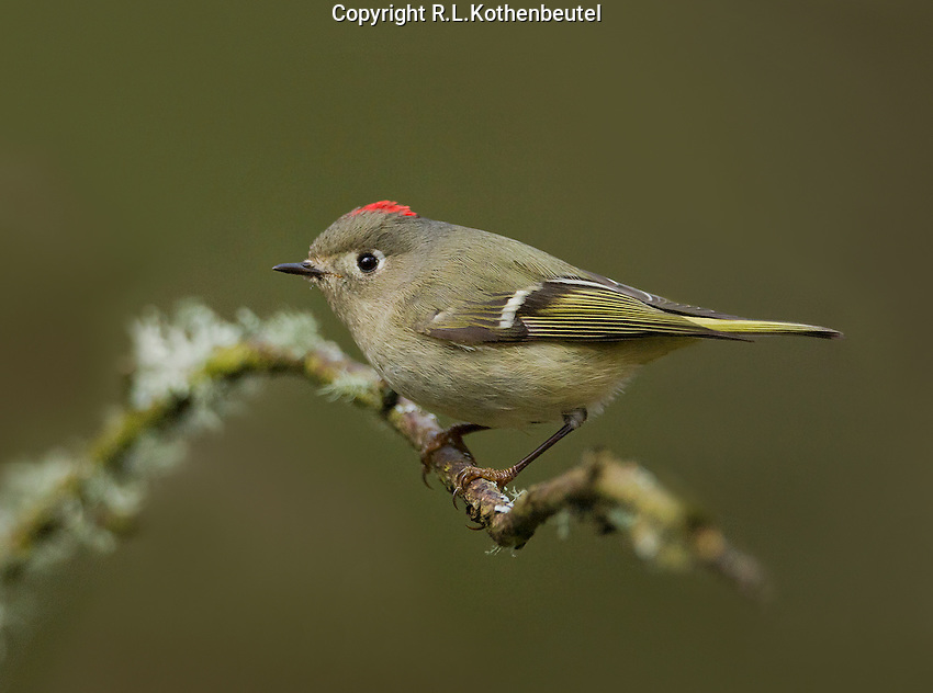 Ruby-crowned kinglet (Regulus calendula) Adult male with red crest (crown) visible, perched on moss-covered branch<br />
