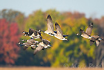 Canada Geese (Branta canadensis), flock in flight against background of autumn colors, Montezuma National Wildlife Refuge, New York, USA