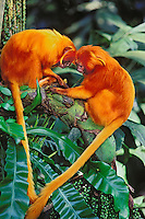 2Mp38  Golden Lion Tamarin (Leontopithecus rosalia).  Found mostly in eastern Brazil.
