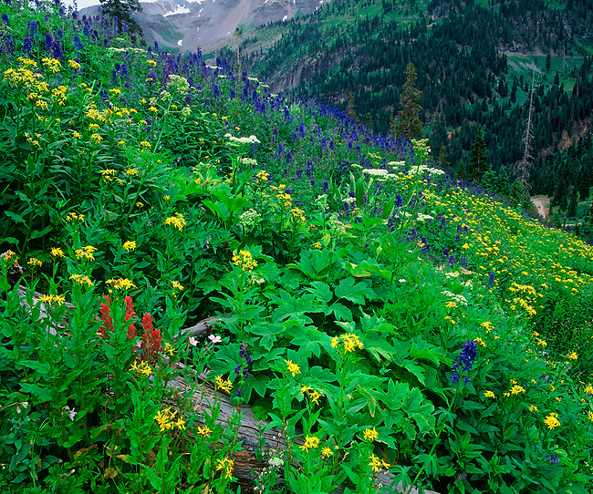 Senecio and larkspur blanket the side of a mountain in Yankee Boy Basin, Uncompahgre National Forest, Colorado.