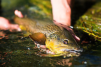A brown trout is released below High Bridge on the Beaverhead River near Dillon, Montana.