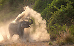 Elephant disappears into a cloud of dust by K.V. Raghupathi