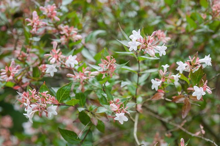 Abelia x grandiflora, mid August.