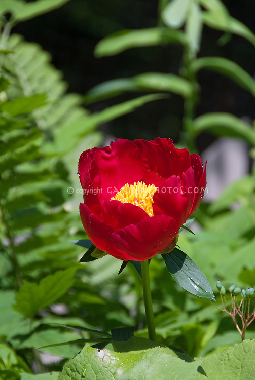 Peony Scarlet O'Hara peonies in red flowers in June early summer perennial