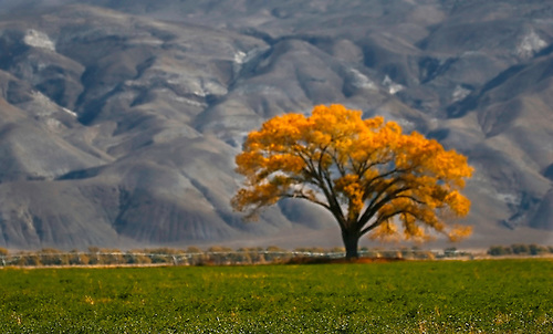 A lone cottonwood tree in full fall foilage in the Owens Valley, California