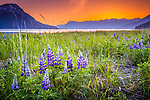 Lupine field at sunset. Chugach Mountains in the background. Turnagain Arm of Cook Inlet, Southcentral Alaska, Summer.