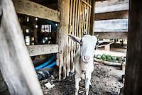 Goat underneath a traditional Batak House, Lake Toba (Danau Toba), North Sumatra, Indonesia