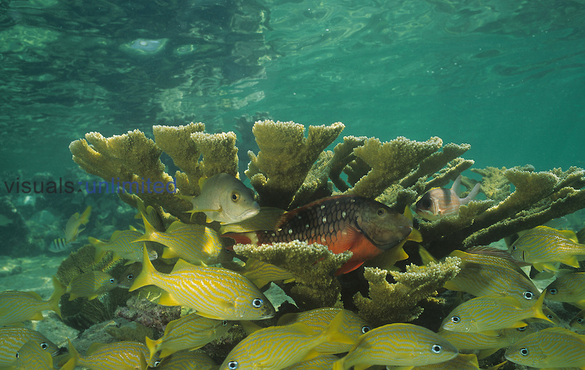 Elkhorn Coral with a school of French Grunt Snappers.  ,Acropora palmata, Caribbean