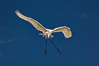 Great Egret in flight, Casmerodius albus, Sanibel Island, Florida