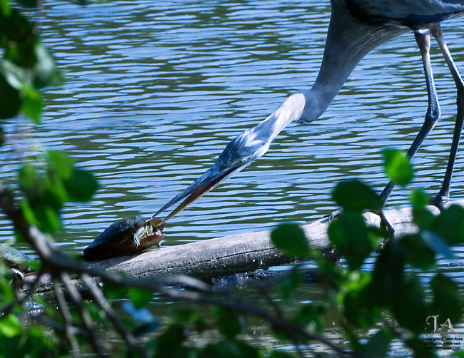 Great Blue Heron attacking Painted Turtle in Martlings Pond, Staten Island, NY
