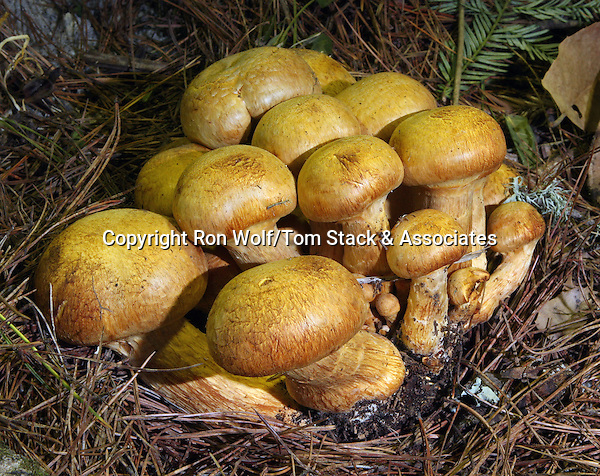 Giant Gymnopilus (Gymnopilus spectabilis) a/k/a Big Laughing Gym. Santa Cruz, Santa Cruz Co., Calif.