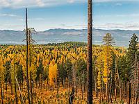Kootenai National Forest. Lake Koocanusa. Western Larch in the fall.