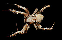 370000071 a wild male orbweaver spider araneaus ssp. sits on her web at night in los angles county california