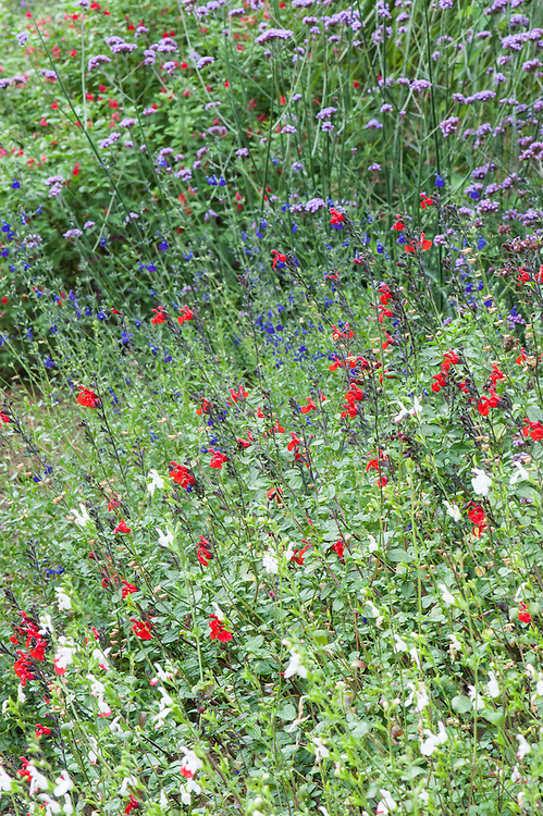 Red and blue Salvias, with Verbena bonariensis in the background, mid August, Great Comp, Kent.