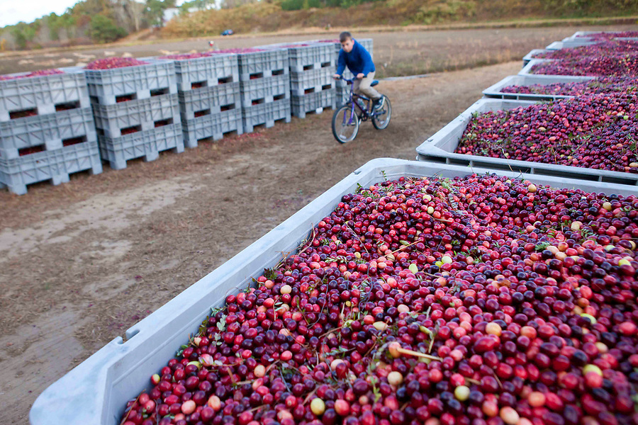 Keegan Knee bikes past containers of dry berries while waiting for his cranberry grower grandfather, Linc Thacher to finish up.
