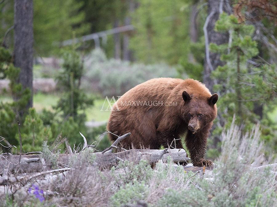 We encountered this cinnamon black bear early one morning near Sheepeater Cliff.