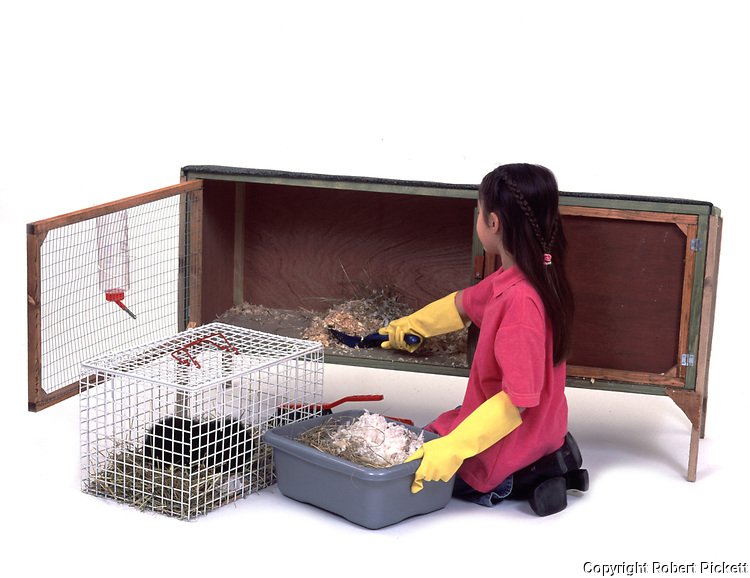 Young Girl cleaning out hutch for Pet Guinea Pig, aged 7 years old, domestic, white background, cut out, studio,