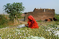 INDIA, Madhya Pradesh , Kasrawad, cotton farming, woman collect fibres from unmatured cotton boll formation, left castor oil plant
