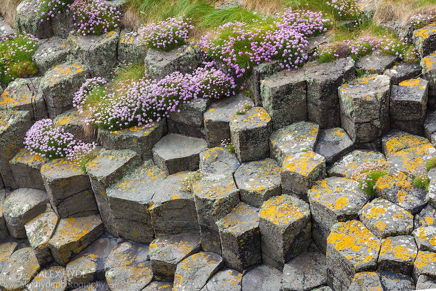 Flowering thrift {Armeria maritima} growing amongst basalt columns. Isle of Staffa, Inner Hebrides, Scotland, UK.
