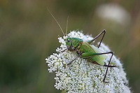 Close view of a big grasshopper on a blurred background