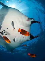 Manta Ray, Manta birostris, and clarion angelfish, Holacanthus clarionensis, on a cleanning estacion, Socorro Island, Revillagigedo archipelago, Pacific ocean, Mexico