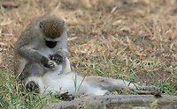 Black-faced Vervet Monkeys, Chlorocebus pygerythrus, grooming in Tarangire National Park, Tanzania