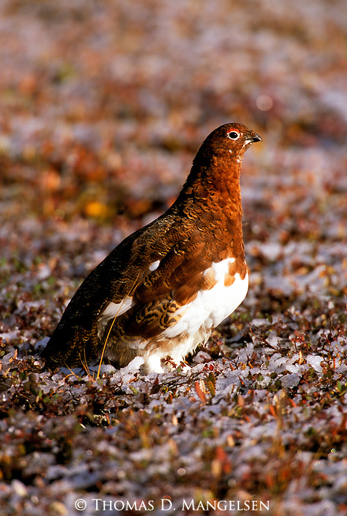 Willow Ptarmigan (Lagopus lagopus) Denali National Park, AK