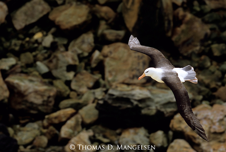 Black-browed Albatross (Thalassarche melanophris) New Island