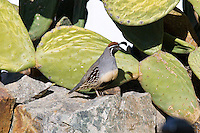 Gambel's Quail male, Arizona, USA