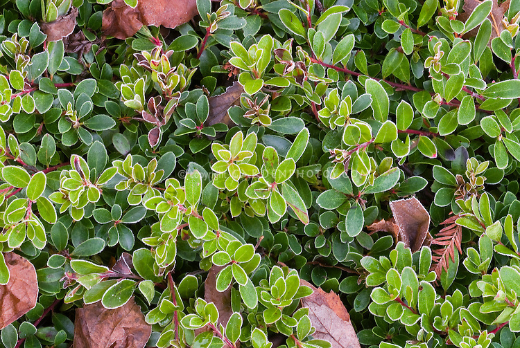 Arctostaphylos uva-ursi Vancouver Jade foliage leaves in winter, aka Kinnikinnick, Pinemat manzanita, native American plant, Heath family, Ericaceae. Ground cover that spreads.